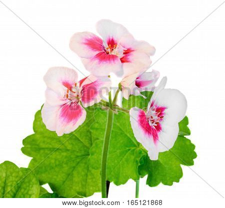 White With Pink Spots Pelargonium, Geraniums Flowers, Close Up, White Background.
