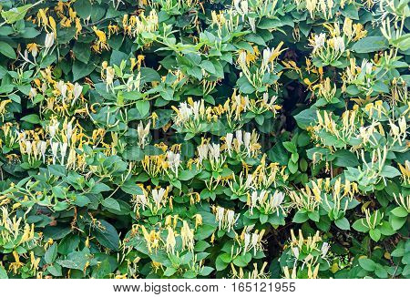 Lonicera Caprifolium (goat-leaf Honeysuckle, Italian Honeysuckle, Perfoliate Woodbine) Flowers,