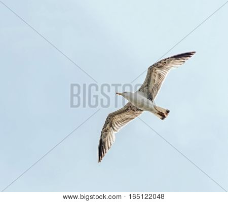 Colored seagull in the blue sky open eye close up