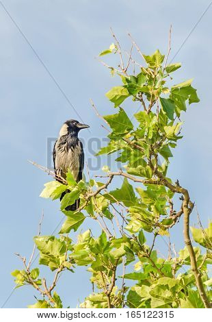 Grey and black crow sitting on a branch tree blue sky