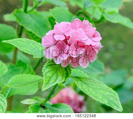Pink, Purple  Hydrangea Or Hortensia Flower, Green Plant Bush, Close Up