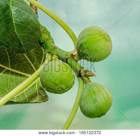 Green Fruits Of Ficus Carica, Mulberry Family, Known As The Common Fig, Tree Branches
