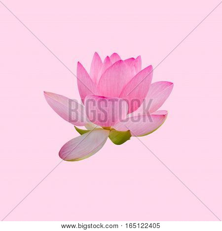 Pink Nuphar Flowers, Water-lily, Pond-lily, Spatterdock, Nelumbo Nucifera, Also Known As Indian Lotu
