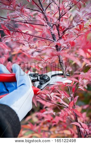 Pruning the plant in the garden with shears
