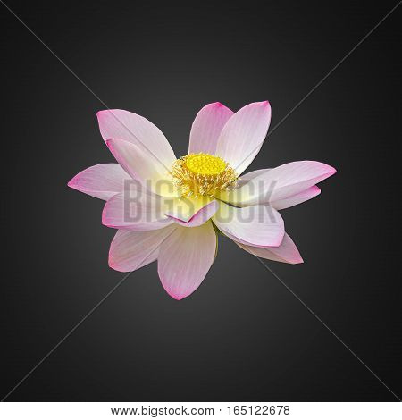 Pink Nuphar Flower, Water-lily, Pond-lily, Spatterdock, Nelumbo Nucifera, Also Known As Indian Lotus