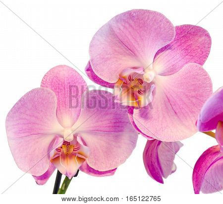 Pink Branch Orchid  Flowers, Orchidaceae, Phalaenopsis Known As The Moth Orchid, Abbreviated Phal. W