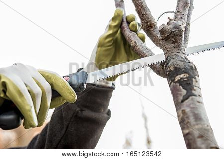 the farmer prunes the tree branches with a saw