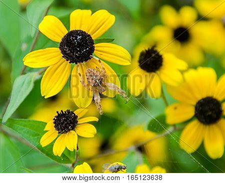 Rudbeckia Triloba Yellow Flowers (browneyed Susan, Brown-eyed Susan, Thin-leaved Coneflower, Three-l