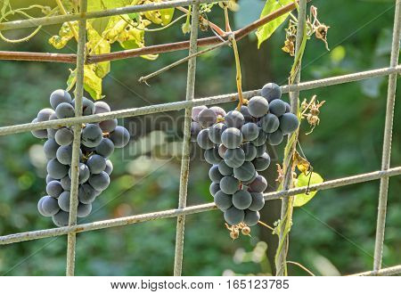 Dark red purple grapes fruit hang Vitis vinifera (grape vine) green leaves in the sun close up