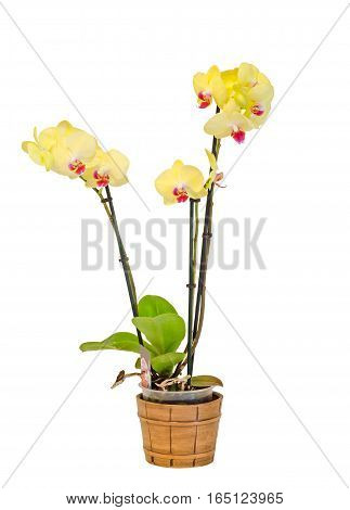 Yellow Branch Orchid  Flowers With Green Leaves, White Vase, Orchidaceae, Phalaenopsis Known As The