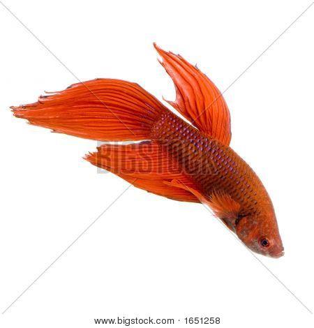 Peixes de combate Siamese