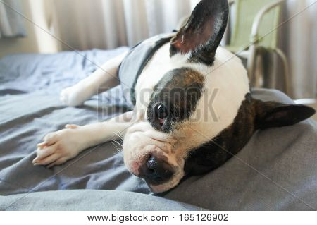 a French bulldog in the bed , French bulldog