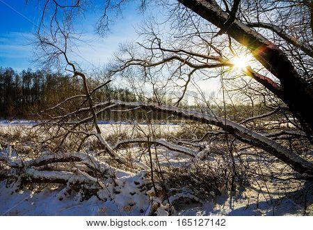 old trees in Loshitsa park manor landscape Minsk Belarus winter poster