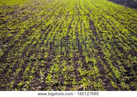 Field of green wheat sprouts, close up