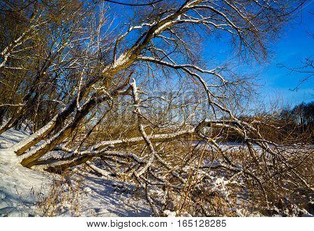 old trees in Loshitsa park manor landscape Minsk Belarus winter