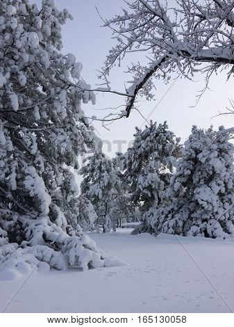 Snowy landscape with trees and blanket of snow