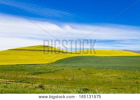 Rapeseed Fields Along The Road To Franschhoek, South Africa
