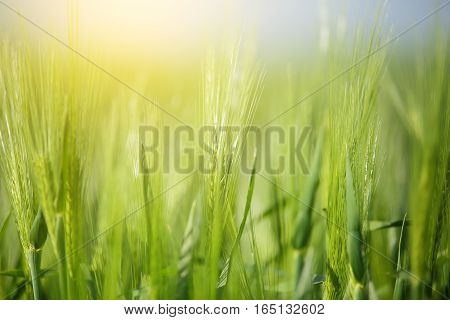 Wheat on sunny background. Sun shine at wheat sprouts.  Macro of spring wheat. Close up of wheat on spring meadow. Beautiful meadow background