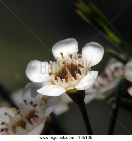 Flowers - Geraldton Wax