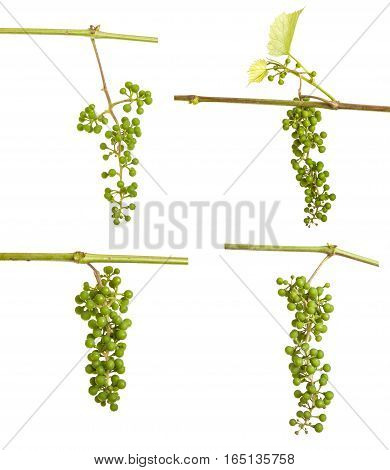 Young Grapes On The Vine. Isolated On White Background
