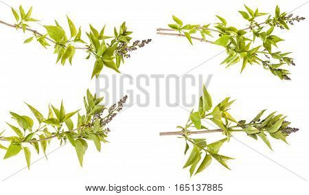 Lilac Branch With Unblown Flowers Isolated On White Background