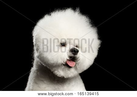 Close-up portrait of white bichon frise dog with groomed fur like ball head isolated on black background, front view