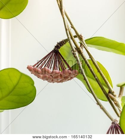 Flower buds Hoya, wax ivy, among green leaves