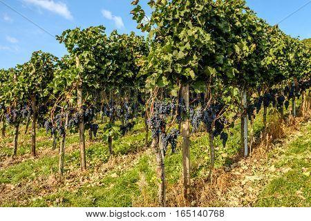 Die Weintrauben auf der Weinrebe im Weingarten.