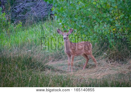 A Mule Deer Fawn on Edge and Alert