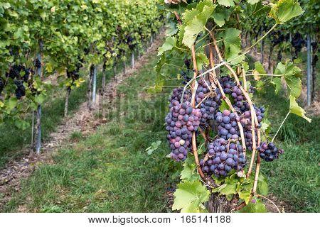 Die Weintraube hängend auf der Weinrebe im Weingarten.