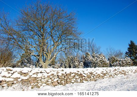 Sunny winter landscape with a big tree and a snowy stone wall