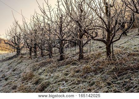 Die Fruchtbäume abgedeckt mit dem Raureif am Wintermorgen auf dem Abhang des Hügels.