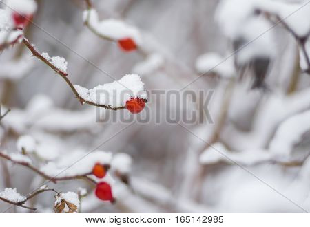 Small branch of rose-canina (dog-rose) with berry bending under a snow cap
