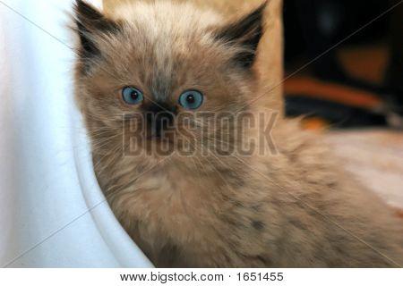 Himi Kitten