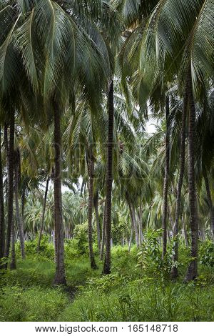 Palm Tree Forest - in Colombian tropical island