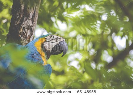 A blue and yellow mackaw parrot in tropical forest