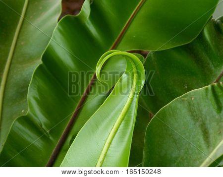Close-up of unique young leaf of Bird's-nest fern or Asplenium nidus