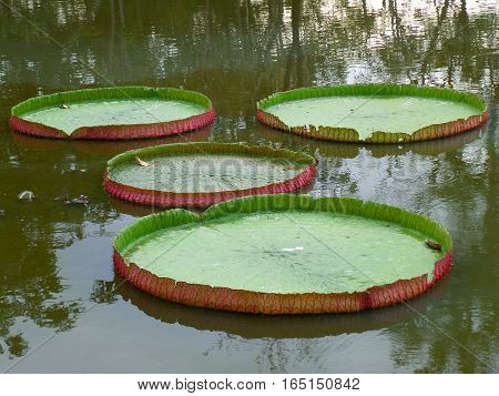 Bright Green and Red Color Victoria Lotus Leaf Floating on a Pond, Bangkok, Thailand