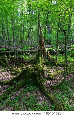 Partly declined stumps in front and broken oak tree rain after in spring, Bialowieza Forest, Poland, Europe