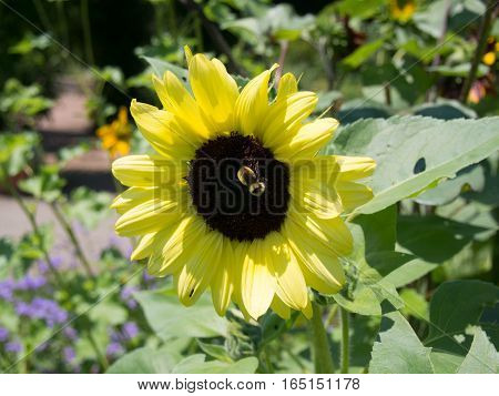 Sunflower with a Bee on it at a park in Westerville Ohio