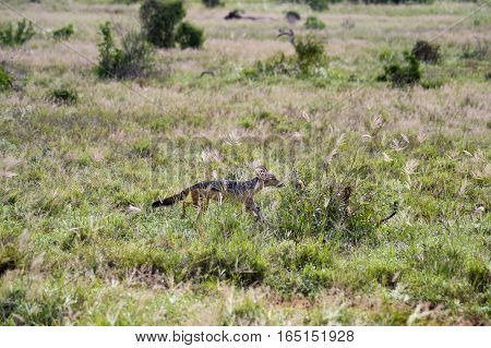 Jackal walking in the tall grass in Tsavo East Park in Kenya
