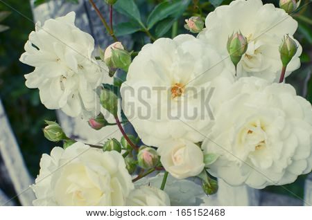 White Rose At Fence Background