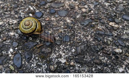 Cute grove snail or brown-lipped snail on sidewalk.