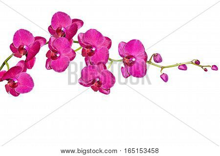Orchid isolated on white background. Delicate flower