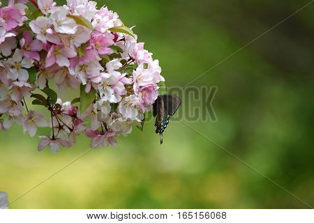 Swallowtail on a flowering crab apple tree
