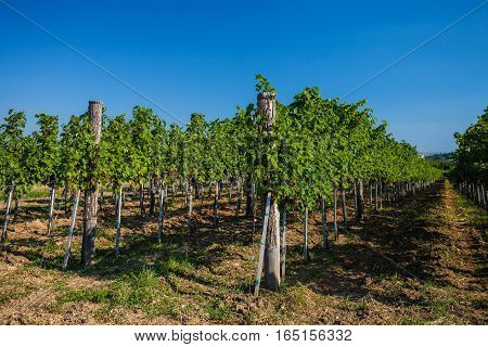 Plantation of grapes in Fruska Gora National park Serbia