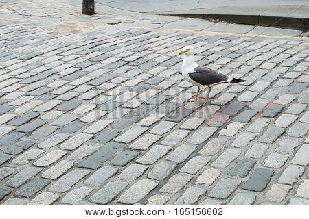 Seagulls on city road in Edinburgh, United Kingdom.