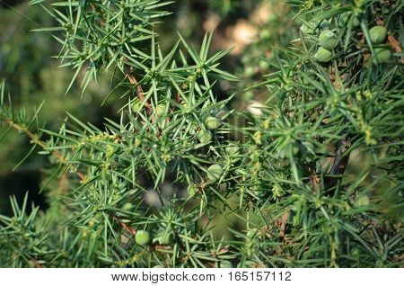 Juniperus Or Juniper Tree With Green Berry