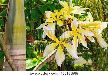 Close up of Plumeria flowers. Botanical photography. It is considered a symbol of immortality and put it next to the Buddhist temple