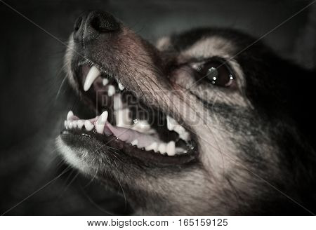 Portrait of a dog with open mouth close-up. Photo toned in dark colors